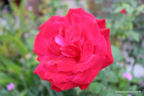 Rose in mid-November ...