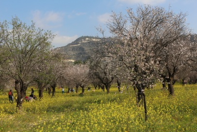 Blooming almond trees in Cyprus
