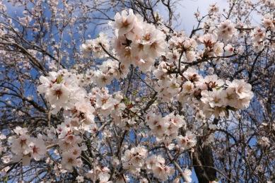 blossom trees Cyprus